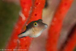 BD-101205-Playa-del-Carmen-2515-Canthigaster-rostrata-(Bloch.-1786)-[Sharpnose-puffer].jpg